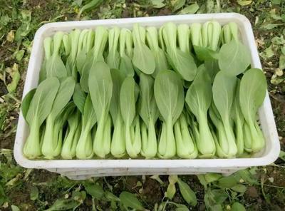 山东菏泽曹县北方小油菜 1两以下