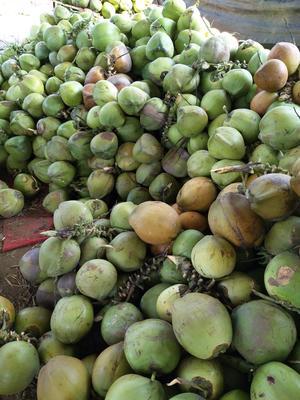 海南陵水陵水高种椰子 4 - 5斤