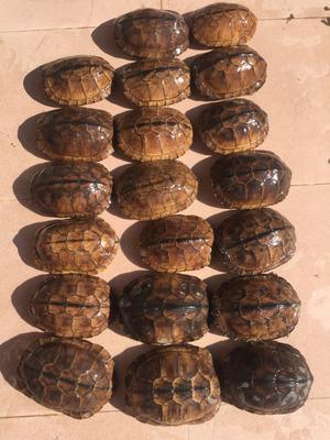 广东茂名电白区南石龟 10-20cm 2-4斤