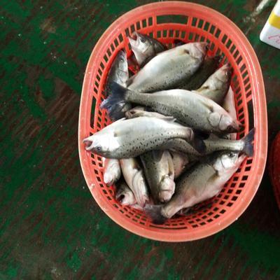 广东珠海斗门区海鲈鱼 人工养殖 1-1.5公斤