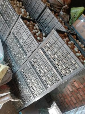 河南新乡新乡县青皮鸭蛋 食用 散装
