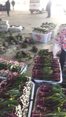 湖北省武汉市蔡甸区红菜苔 20~25cm