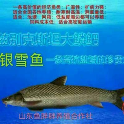 广东广州增城区淡水银鳕鱼 人工养殖