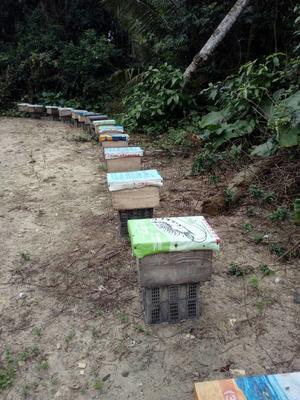 海南临高临高海南蜜蜂