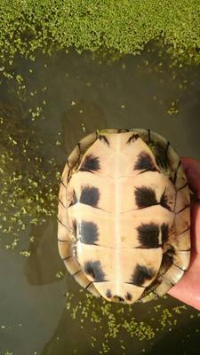 江西抚州南丰县黄喉拟水龟 10-20cm 0.5-1斤