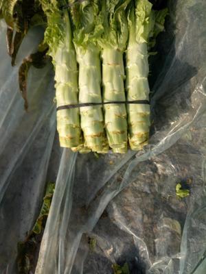 安徽省宿州市埇桥区紫叶香莴笋 28~40cm 1.5~2.0斤