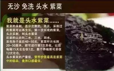 福建漳州东山县东山紫菜