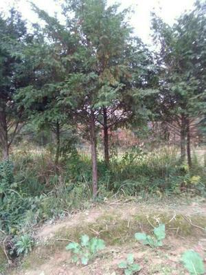 重庆忠县南方红豆杉 3.5米~5米