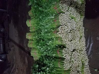 河南省南阳市新野县皇妃芹菜 50~55cm 大棚种植 0.5斤以下