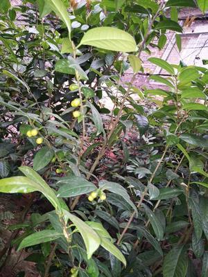 广西壮族自治区玉林市北流市金花茶 35cm以上