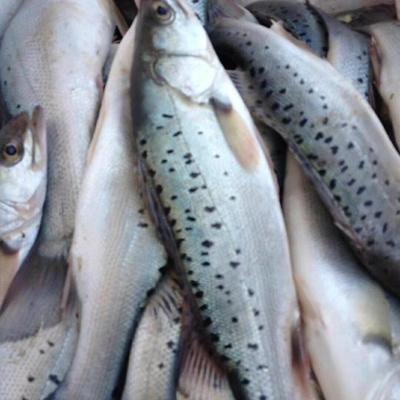 山东青岛城阳区海鲈鱼 野生 3-4公斤