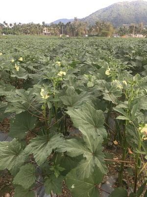 海南三亚天涯区助农一号 8 - 10cm