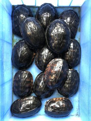 广东佛山顺德区南石龟 50cm以上 1-1.5斤