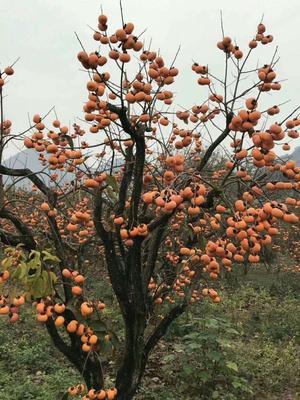 广西壮族自治区柳州市柳江县山柿子 2 - 3两以上