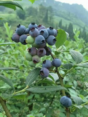 贵州黔东麻江县麻江蓝莓 鲜果 4 - 6mm以上
