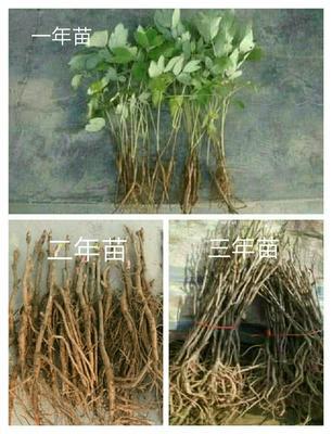 山东菏泽牡丹区油用牡丹种苗 2cm以下 4cm以下 0.5米以下