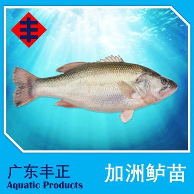 广东江门新会区加州鲈鱼 人工养殖 0.5公斤以下