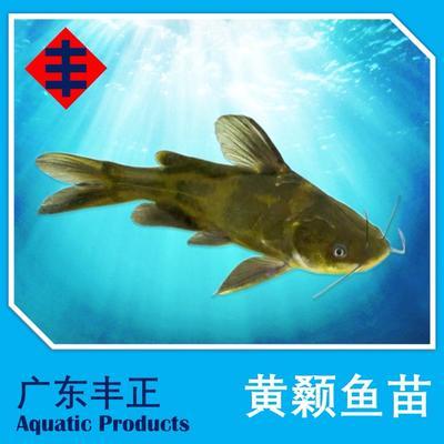 广东省江门市新会区网箱黄颡鱼 野生 0.05公斤