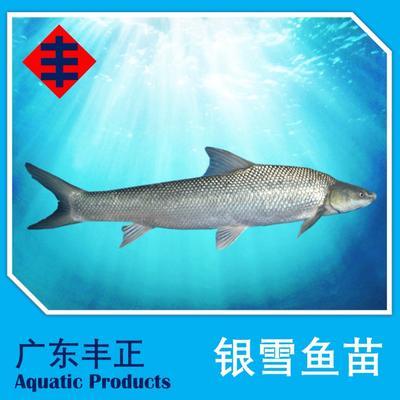 广东江门新会区淡水银鳕鱼 人工养殖