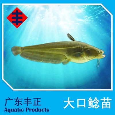 广东江门新会区大口鲶鱼 人工养殖 0.5公斤以下