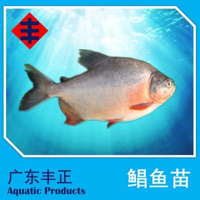 广东江门新会区红鲳鱼 人工养殖 0.5龙8国际官网官方网站以下