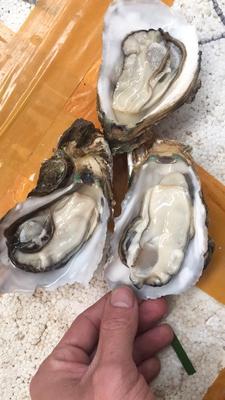 湛江牡蛎 人工殖养 5-10只/公斤