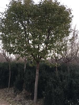 山东泰安肥城市流苏树