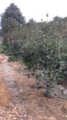 四川成都温江区茶花树 140cm以上