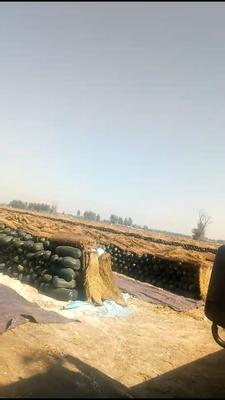 河北邢台隆尧县子弹头黑皮冬瓜 10斤以上 黑皮