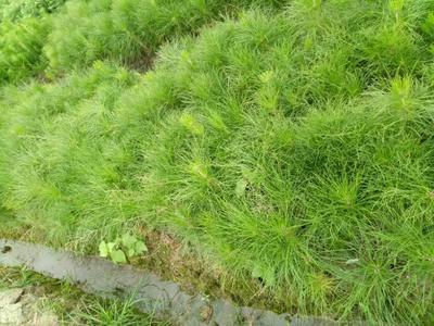 广西壮族自治区桂林市兴安县湿地松树苗