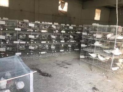 山西忻州忻府区肉鸽蛋 食用 箱装