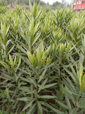 湖南省郴州市苏仙区夹竹桃 2公分以下 2公分以下 1.0~1.5米
