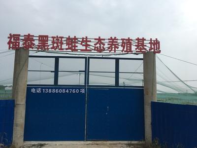 湖北省武汉市黄陂区青蛙苗