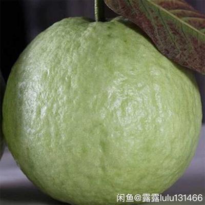广东湛江徐闻县白心番石榴 250-300克