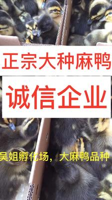 广西南宁西乡塘区大种麻鸭