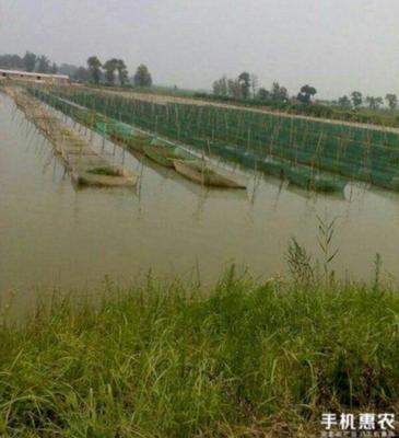 安徽六安霍邱县商品黄鳝 人工养殖