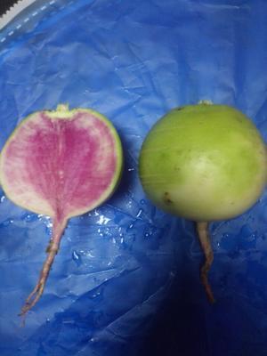 河北省廊坊市三河市心里美萝卜 1~1.5斤
