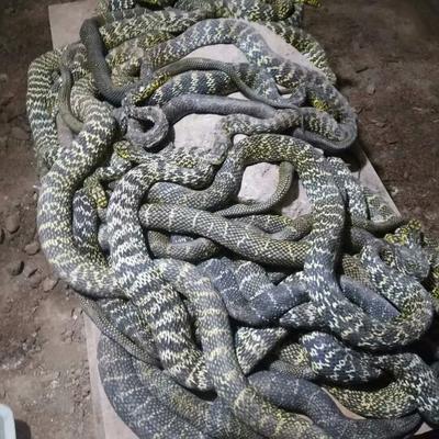 广东佛山南海区大王蛇 食用