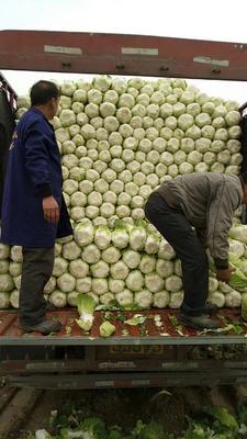 湖北省荆门市沙洋县傲雪迎春白菜 3~6斤 净菜