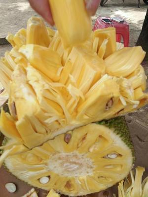海南琼海琼海市海南菠萝蜜 10-15斤