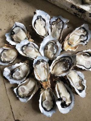 广东江门台山市台山生蚝 人工殖养 3-5只/公斤