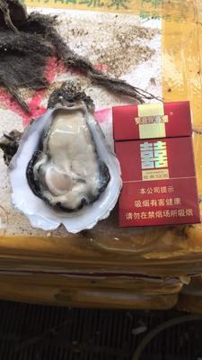 广东江门台山市台山生蚝 人工殖养 5-10只/公斤