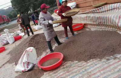 广西壮族自治区柳州市融水苗族自治县杉木种子