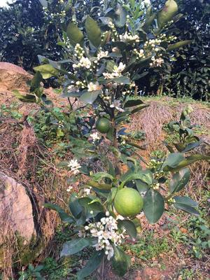 福建漳州平和县台湾青柚苗