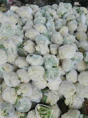 江苏徐州沛县白面青梗松花菜 适中 2~3斤 乳白