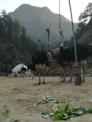 贵州铜仁万山区非洲鸵鸟