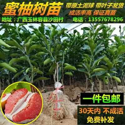 广西玉林容县三红蜜柚苗