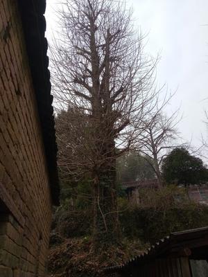 广西桂林七星区古银杏树
