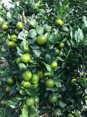 沃柑苗 嫁接苗 0.5~1米