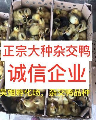 广西南宁西乡塘区杂交鸭苗